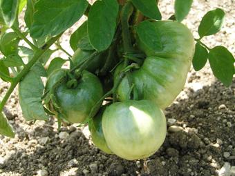 http://fermedurocher.typepad.fr/photos/uncategorized/tomates_vertes.jpg